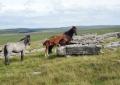 wild-ponies-bodmin-moor