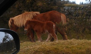 First foal seen at Delphi Bridge, St Breward, Bodmin Moor