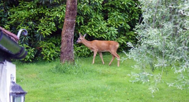 Woodland-Deer