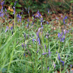 Bluebells growing wild in Darrynane Woods on the edge of Bodmin Moor