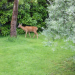 An older shot of the deer on our lawn next to the eucalyptus which has now gone