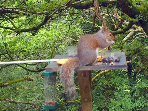 A Red Squirrel Feeding in woods North Cornwall