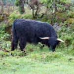 One of several highland beef cattle out on Bodmin Moor. This one is Angus