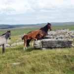 Some of the many wild ponies roaming freely out on Bodmin Moor near St Breward