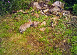 Rabbits in the woods at Darrynane Cottages