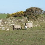 A couple of lambs with their mothers on Bodmin Moor May 2013