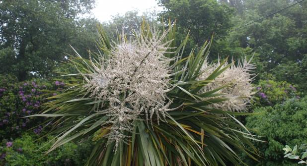 Cornish Yucca in Flower