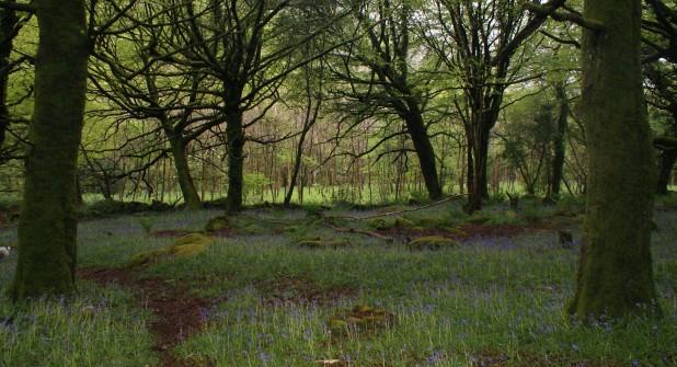 Bluebells carpet the woodland floor!