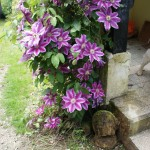 Cheeky Clematis