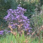 Purple Azalea!