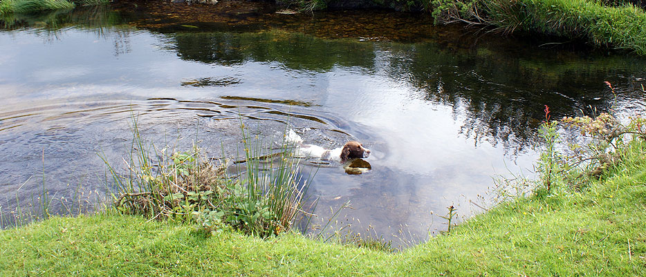 Pebbles in his favourite swimming hole on the de Lank river at Delphy Bridge on Bodmin Moor
