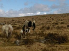 Little foal out on Bodmin Moor near St Breward