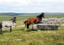 Bodmin Moor Wild Ponies, North Cornwall