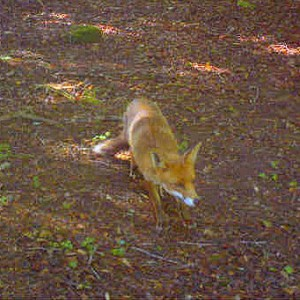 Wild Fox in the woods at Darrynane, Bodmin