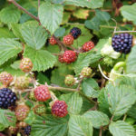 Wild fruit growing in the hedgerows around St Breward