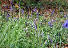 darrynane-bluebells