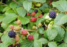 woodland-blackberries