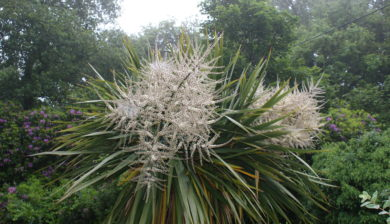 Cornish Yucca in Flower