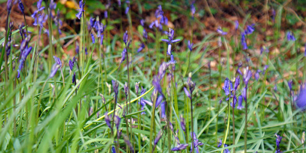 Bluebells growing in Darrynane Woods, popular with dog walkers staying at Darrynane Cottages