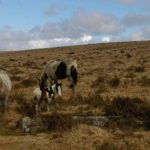 Little foal out on the Moor near St Breward