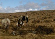 Little foal out on the Moor near St Breward