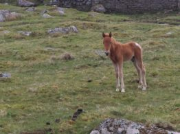 New born foal on the moor