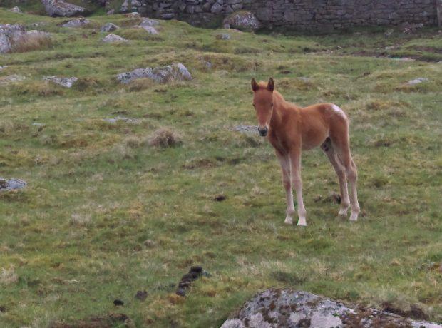 New born foal on the moor
